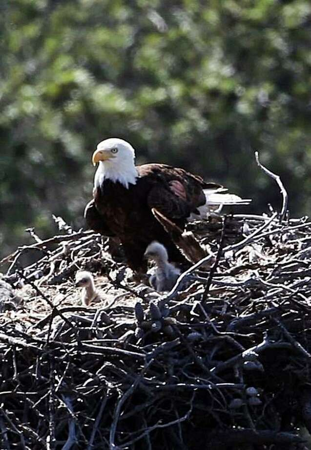 This undated image provided by Full Frame Productions, Kevin White, shows a bald eagle feeding its young in their nest on the Channel Islands, Calif. Efforts to bring bald eagles back to Southern California's Channel Islands have taken a giant step this year with the birth of at least 15 chicks on three islands. National Park Service officials say that brings to 36 the number of chicks who have survived since 2002, when recovery efforts started. Photo: Kevin White, AP