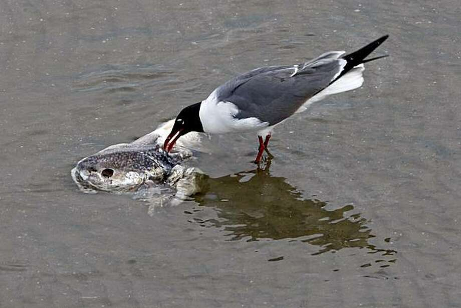 A seagull feeds on a dead fish as clean-up efforts continue nearby for the BP Plc Deepwater Horizon drilling rig oil spill in Grand Isle, Louisiana, U.S., on Tuesday, May 25, 2010. BP Plc began its top kill attempt to plug the month-long leak from the Macondo oil well, which has poured millions of gallons of oil into the Gulf of Mexico and soiled at least 70 miles (113 kilometers) of coastline. The spill has cost BP $760 million, the company said. Photographer: Derick E. Hingle/Bloomberg Photo: Derick E. Hingle, Bloomberg