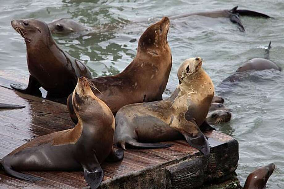 Sea lions have returned to Pier 39 in San Francisco, Calif.,  on Friday, May 21, 2010. Photo: Liz Hafalia, The Chronicle