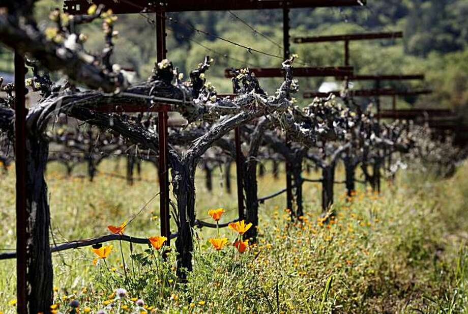 A view of the Sauvignon Blanc vines at Quivira Wednesday April 7, 2010. Quivira is an established Dry Creek Valley estate in Healdsburg, Calif. that is now run biodynamically as a self-contained farm. Photo: Brant Ward, The Chronicle