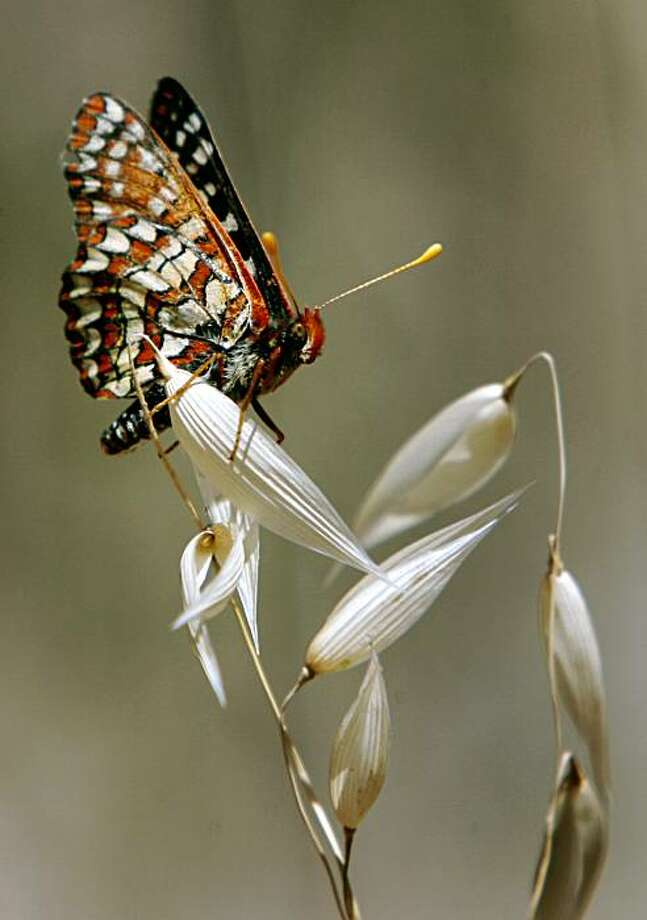 A Variable Checkerspot lands on vegetation during the annual butterfly count by the North American Butterfly Association in Mount Diablo State Park in Clayton. Photo: Paul Chinn, The Chronicle