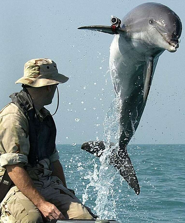 Kahili, a mine-hunting dolphin, jumps out of the water while a Navy handler looks on in March 2003 in Iraq. The dolpin was one of several  sent to clear the harbor of Umm Qasr of mines before a British relief ship could unload supplies. The item attached to the dolphin's pectoral fin is a tracking device. Photo: Brien Aho, U.S. Navy