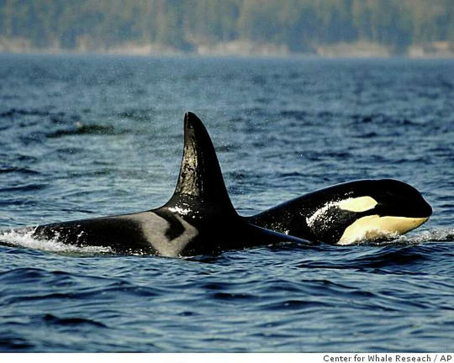 **FILE **In this Sept. 2, 2006 file photo, provided by the Center for Whale Research, a female orca, or killer whale, travels with her offspring in waters around the San Juan Islands in Washington State. Seven killer whales are missing in from nearby Puget Sound and presumed dead in what could be the biggest decline among the sound's orcas in nearly a decade, scientists at the research center who carefully track the endangered animals said Friday, Oct. 24, 2008. (AP Photo/Courtesy The Center for Whale Reseach) ** NO SALES ** Photo: Center For Whale Reseach, AP