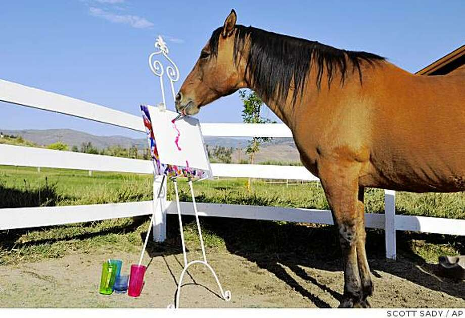 Cholla the painting horse works on his latest masterpiece at his owner Renee Chambers' ranch in Reno, NV, Wednesday, Oct. 1, 2008. Cholla's paintings are set to be exhibited in Italy from Oct. 18- Nov 2. (AP Photo/Scott Sady) Photo: SCOTT SADY, AP