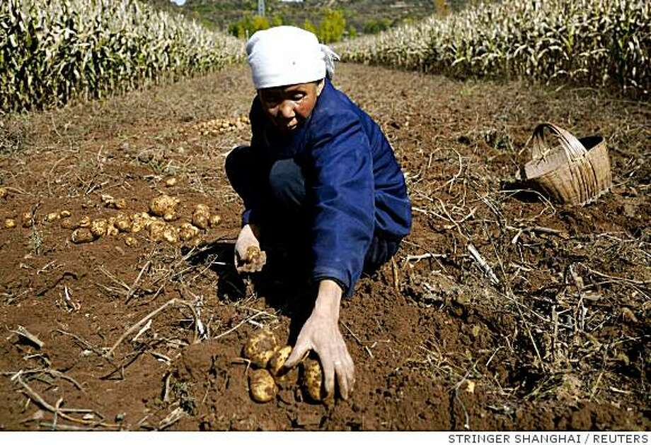 A farmer collects potatoes in a field at a village of Qinyuan county, Shanxi province October 10, 2008. Rural reform was the top item of discussion in the meeting this week that set policy direction for the next several years. Picture taken October 10, 2008. REUTERS/Stringer (CHINA).  CHINA OUT. NO COMMERCIAL OR EDITORIAL SALES IN CHINA. Photo: STRINGER SHANGHAI, REUTERS