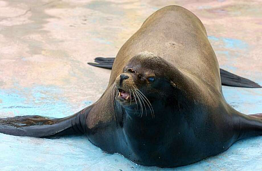 Sgt. Nevis, a 650 pound sea lion who was shot in the face by a fisherman in November, made his debut at Six Flags Discovery Kingdom on Friday, May 14, 2010 in Vallejo, Calif. Photo: Chris Riley, AP