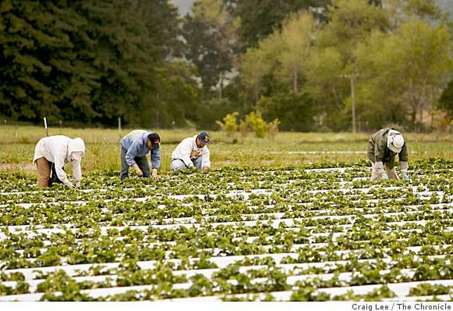 Workers in a strawberry field of Blue Moon Organics in Aptos. Photo: Craig Lee, The Chronicle