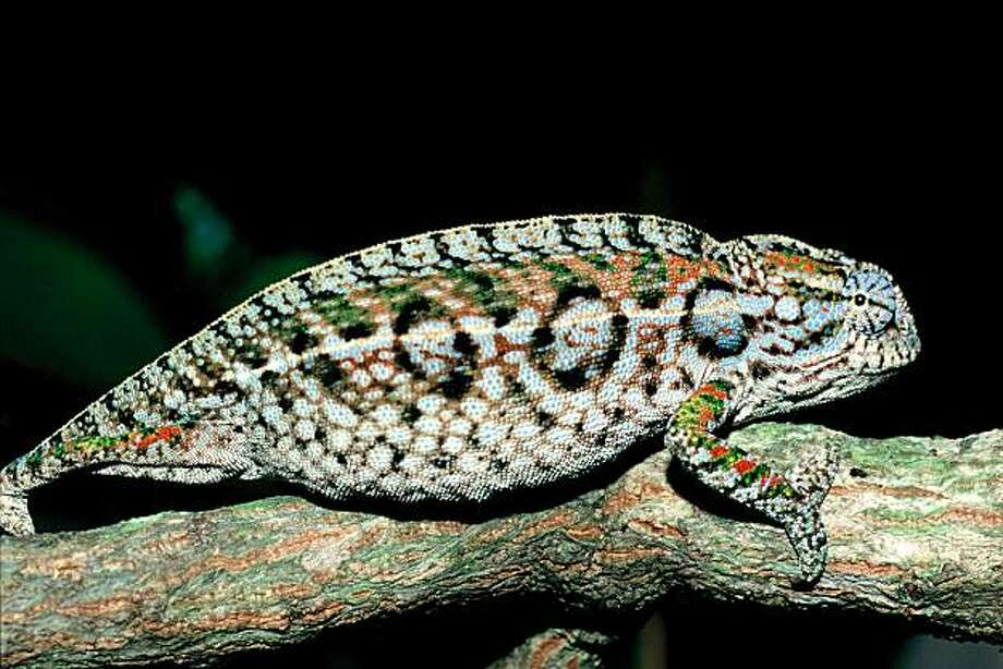 Undated handout photo provided by Science magazine, shows a Fircifer lateralis.   It turns out lizards are going extinct in many areas, and scientists who have studied them say it's because of rising temperatures. Photo: Ignacio De La Riva, AP