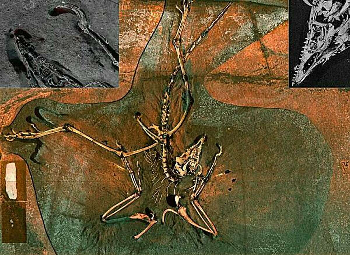 """TO GO WITH AFP STORY US-SCIENCE-PALEONTOLGY This image recieved May 11, 2010 courtesy of the US Department of Energy's SLAC National Accelerator Laboratory shows a Archaeopteryx, a 150 million year old """"dinobird"""" fossil, long thought to contain nothing but fossilized bone and rock, has been hiding remnants of the animal's original chemistry. This image made using the bright X-ray beam of the Stanford Synchrotron Radiation Lightsource (SSRL) shows Main panel: A false color image of the Archaeopteryx. Thisimage is a composite blend of scans for the elements phosphorus, silicon, sulfur, and iron. The bright colors in the wing areas show how part of the feather chemistry has been preserved. Top left panel: An anaglyph made from phosphorus and iron showing"""