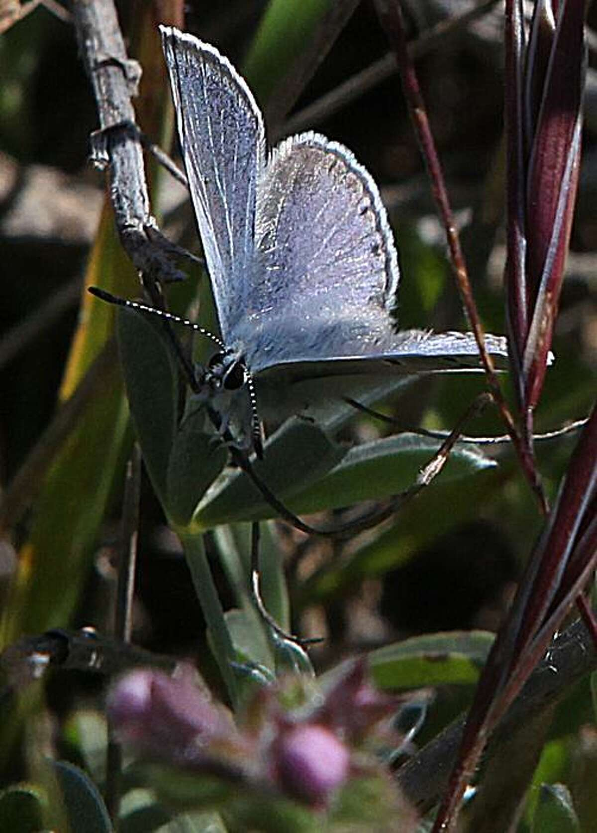 A male mission blue butterfly resting on a leaf in Twin Peaks in San Francisco, Calif., on Thursday, May 6, 2010. The endangered species is from the Lycaenidae family and it's wingspan is 1 to 1.5 inch