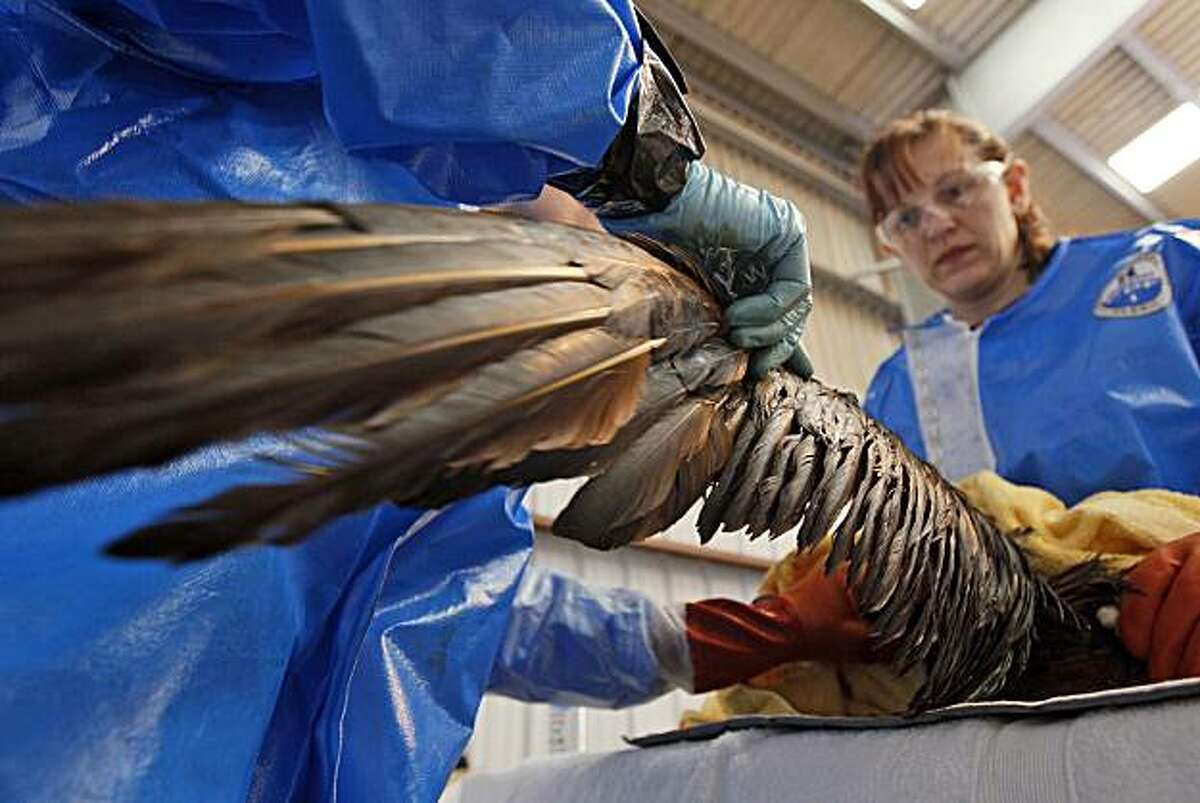Dr. Erica Miller, left, and Danene Birtell with Tri-State Bird Rescue and Research work to help a Northern Gannet bird, normally white when full grown, which is covered in oil from a massive spill in the Gulf of Mexico, at a facility in Fort Jackson, La., Friday, April 30, 2010.