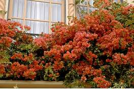 Color is the glory of bougainvillea, and the bright bracts are long-lasting.