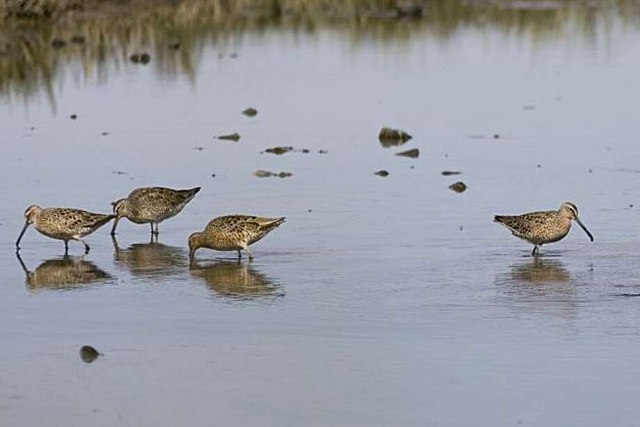 Dowitchers feed in New Marsh at the Martin Luther King, Jr. Regional Shoreline Park in Oakland on Friday, April 16, 2010.    Kat Wade / Special to the Chronicle Photo: Kat Wade, Special To The Chronicle