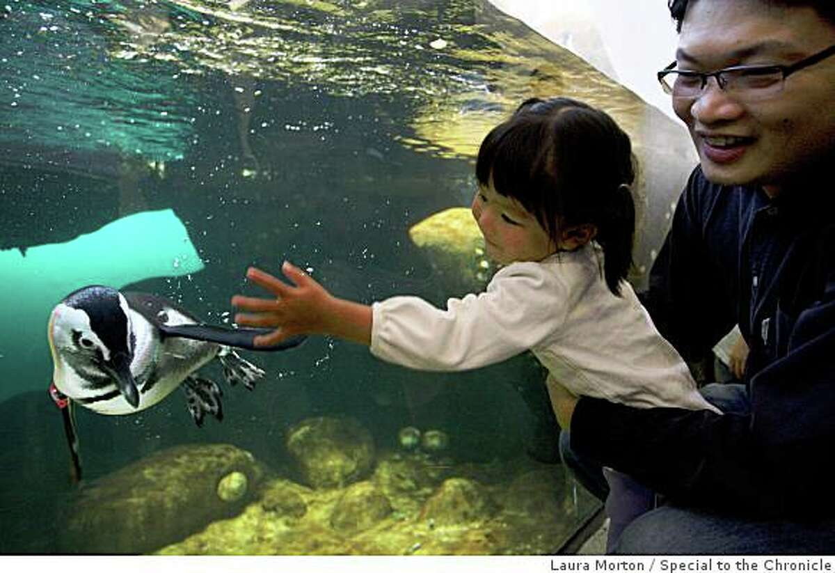 Estee Teo, age 2, and Ken Teo check out the very popular penguin exhibit at the California Academy of Sciences during the museum's opening day in San Francisco, Calif., on Saturday, September 27, 2006.