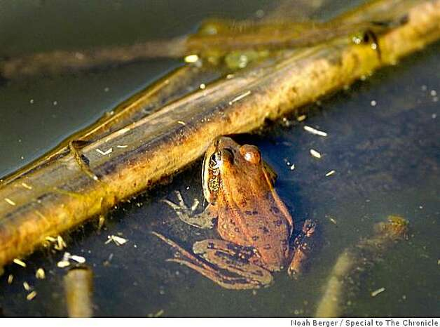 A California red-legged frog rests in a Pacifica pond on Friday, Nov. 30, 2007. Photo: Noah Berger, Special To The Chronicle
