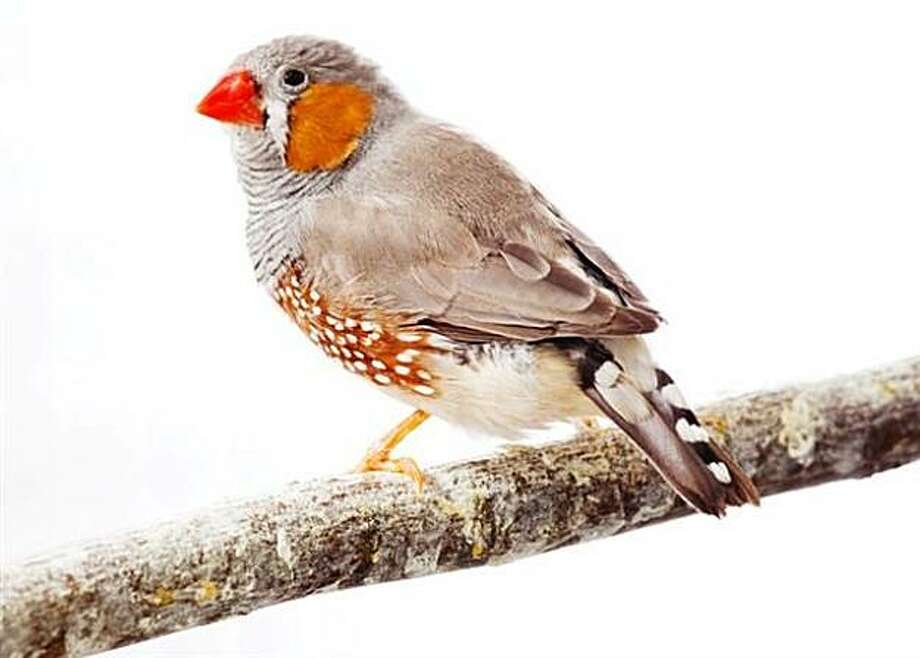 Zebra finch Photo:  L. Brian Stauffer, University Of Illinois