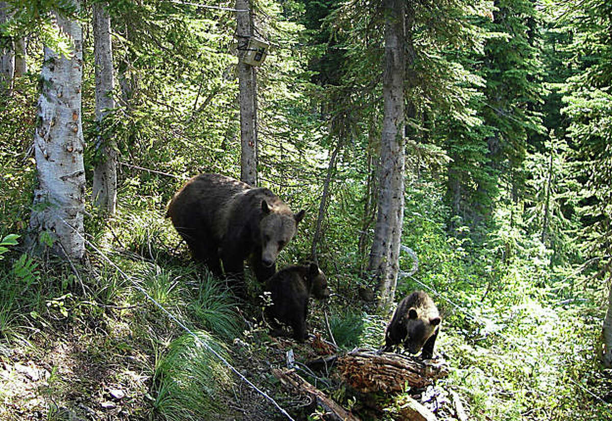This undated handout photo provided by the U.S. Geological Survey shows a grizzly bear with cubs inside a bear hair trap in Glacier National Park in Montana. Federal scientists have documented the largest population of grizzly bears in Montana, a sign that the threatened species could be at long last on the rebound. (AP Photo/U.S. Geological Survey)