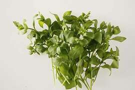 Edible chickweed from the Chronicle roof top garden in San Francisco, Calif., on January 13, 2010.