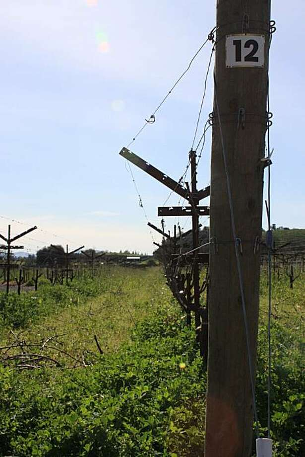 Vines after pruning at the Napanook vineyard at Dominus, in Yountville. Note the vine rows have no irrigation tubing in them. The vineyard is farmed without additional water added. Photo: Jon Bonne, The Chronicle