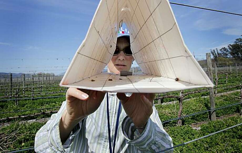 Monica Cooper, a viticulture farm advisor, checks a trap and finds two male moths in a vineyard off highway 128. The discovery of the European grapevine moth in Napa County, CA is making viticulture experts like Monica Cooper nervous as she checks traps in the wine country Wednesday March 17, 2010. Photo: Brant Ward, The Chronicle