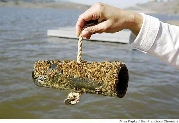 Threat with plenty of mussel sfgate for Lake mead fishing guides