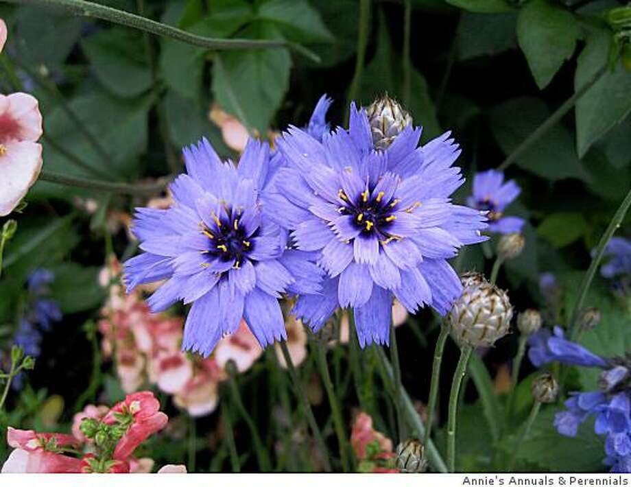 Annie's Annuals & Perennials>> and if you use us as a source, here is out nursery info:Catananche caerulea > Annie's Annuals & Perennials> 740 Market Ave. Richmond> 888.266.4370> www.anniesannuals.com Photo: Annie's Annuals & Perennials