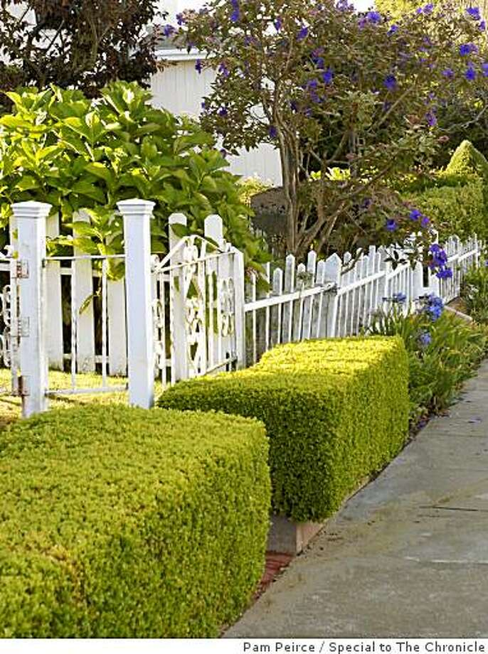 Boxwood hedges can live a very long time if given good care. Photo: Pam Peirce, Special To The Chronicle