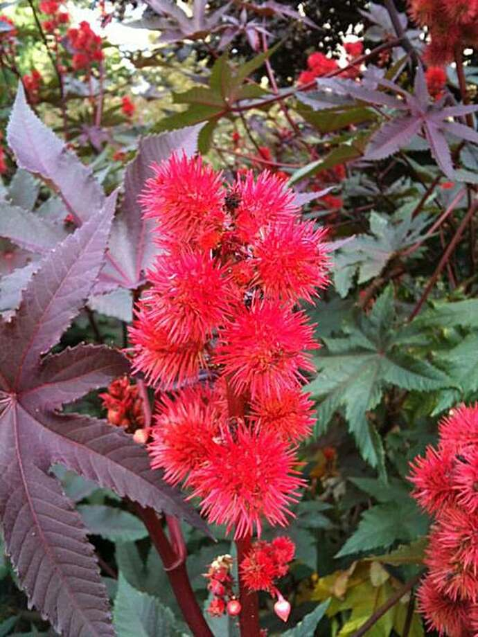 Castor bean plant is adds drama to a garden, but grow it with caution. Photo: John Leydecker