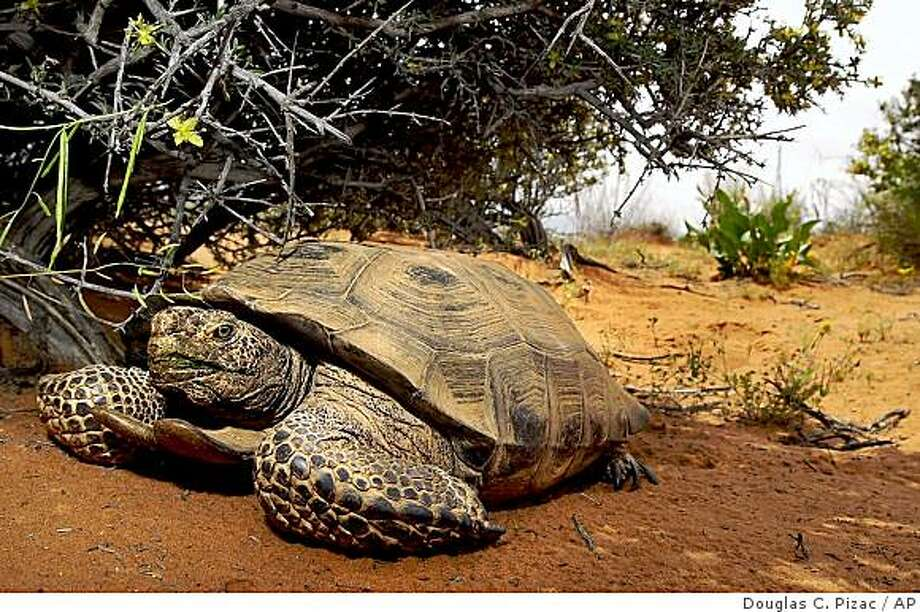 ** FILE **in a file photo a desert tortoise finds relief from the sun under a bush in the Red Cliffs Desert Reserve north of St. George, Utah, Wednesday, April 18, 2001. It's been 18 years since the federal government decided to protect the shy, slow-moving reptile. Despite that step, wildlife officials still don't know if it's done any good to stanch the tortoise's widespread decline in the scrubby desertlands of California, Nevada, Arizona and Utah. (AP Photo/Douglas C. Pizac, File) Photo: Douglas C. Pizac, AP