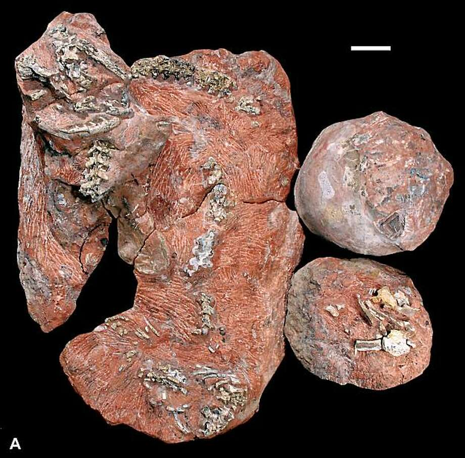 **CORRECTS DATE PHOTO TAKEN TO 2008**In this 2008 photo released by Wilson et al. 2010, PLoS Biology shows blocks preserving the snake Sanajeh indicus in association with a partial clutch of three sauropod eggs and a sauropod hatchling. The fossilized remains of a 67 million-year-old snake found coiled around a dinosaur egg offer rare insight into the ancient reptile's dining habits and evolution, scientists said Tuesday, March 2, 2010. The findings, which appeared in Tuesday's issue of the PLoS Biology journal, provide the first evidence that the 11.5-foot-(3.5-meter-) long snake fed on eggs and hatchlings of saurapod dinosaurs, meaning it was one of the few predators to prey on the long-necked herbivores. Photo: AP