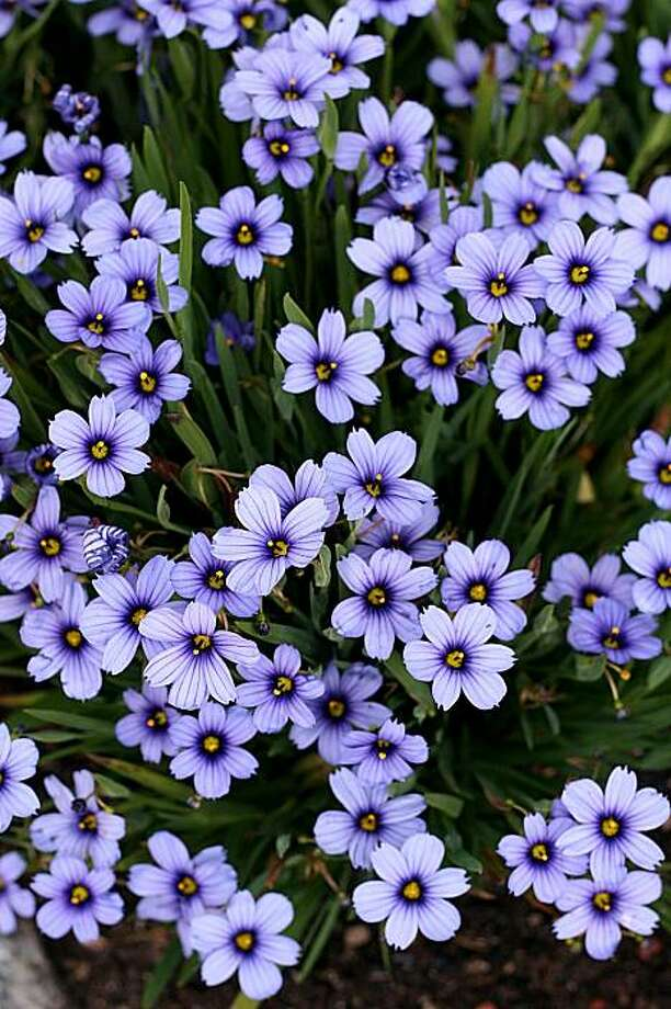 "Sisyrinchium ""Devon Skies"" bears especially large, bluish-purple flowers, each with a dark violet ring surrounding its yellow eye. Photo: Annie's Annuals And Perennials"