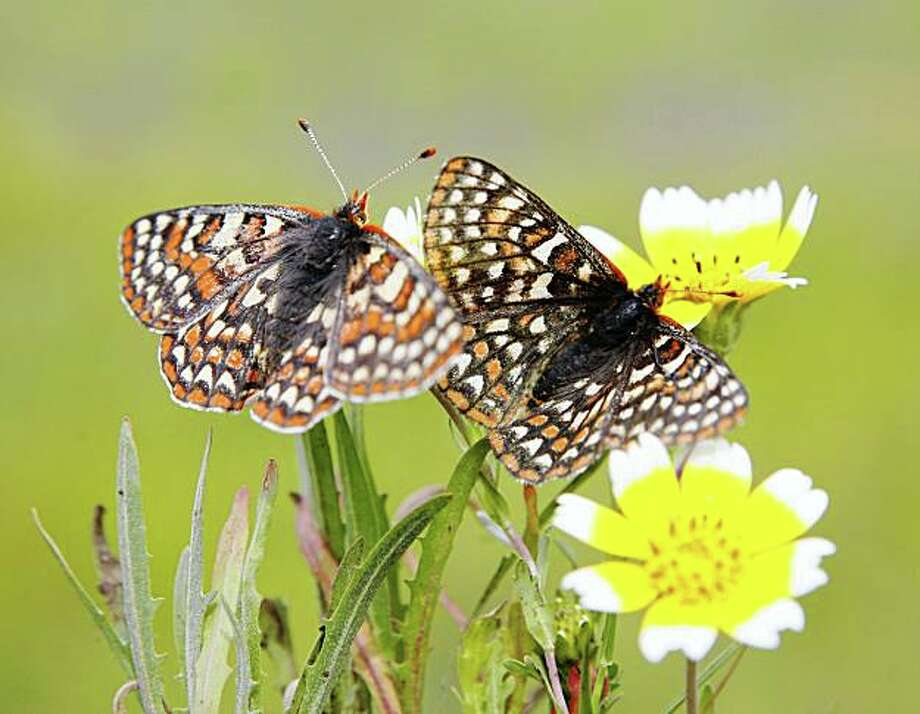 Just released Bay checkerspot butterflies prepare to fly as they rest on 'Tidy Tip' wildflowers.  Officials today, April 4, 2007, released the Bay checkerspot butterflies in Edgewood County Park and Natural Preserve in Redwood City, CA. Photo: Michael Maloney, SFC