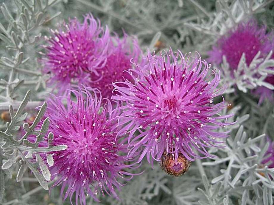 Centaurea gymnocarpa Photo: Annie's Annuals And Perennials