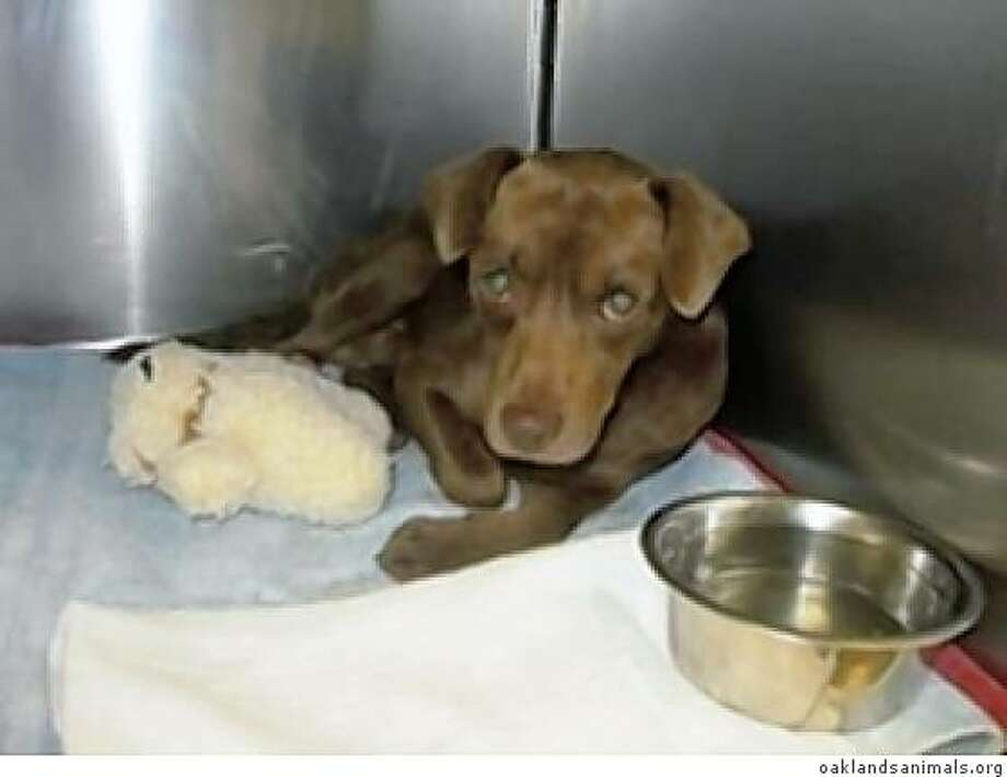 Little Lance, a small male mixed breed dog was found lying on the ground severely injured and in pain near 98th and Lawlor streets in Oakland, Calif. on Friday, Aug. 1, 2008. Photo: Oaklandsanimals.org, Courtesy To The Chronicle