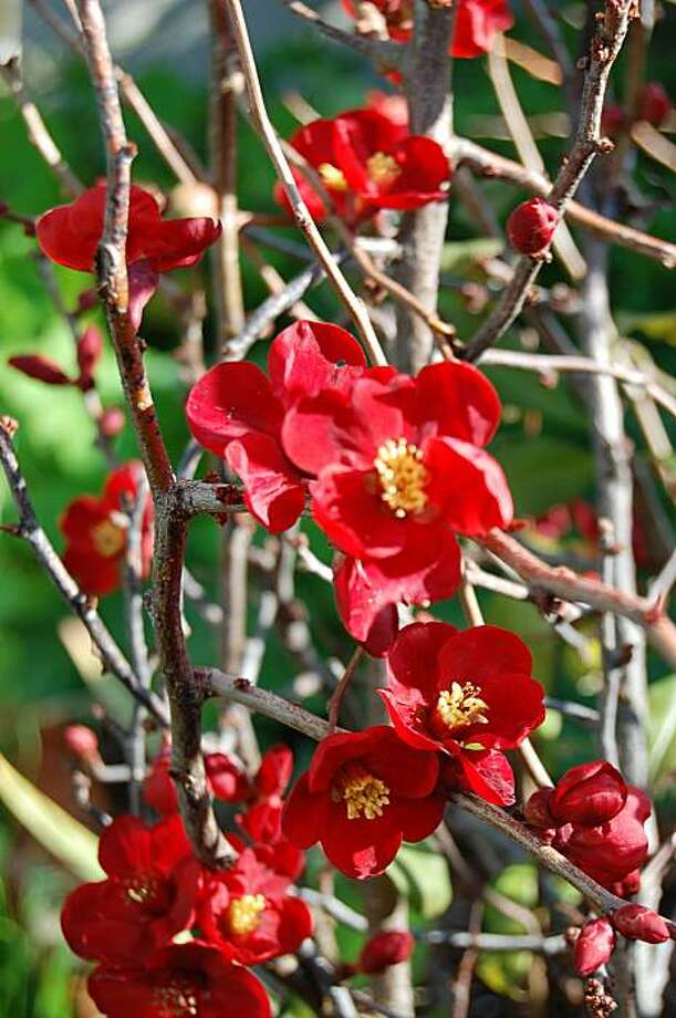 Chaenomeles speciosa Photo: Erle Nickel