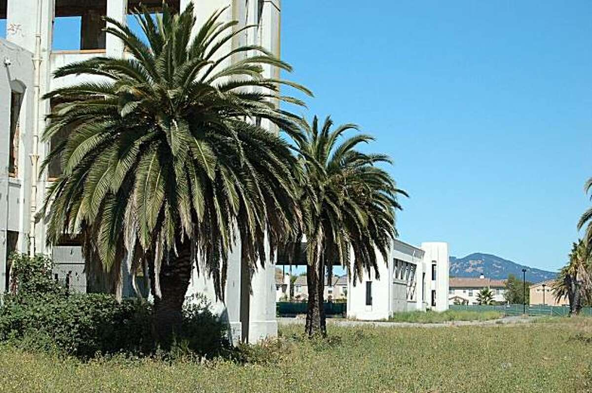 Canary Island date palms at Hamilton AFB, Marin County.