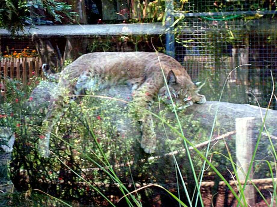 One of two bobcats snoozes on a log at the Palo Alto Junior Museum's zoo.  The 40-year old museum is currently trying to raise $400,000 to renovate the bobcat habitat. Photo: Mary Ellen Hunt