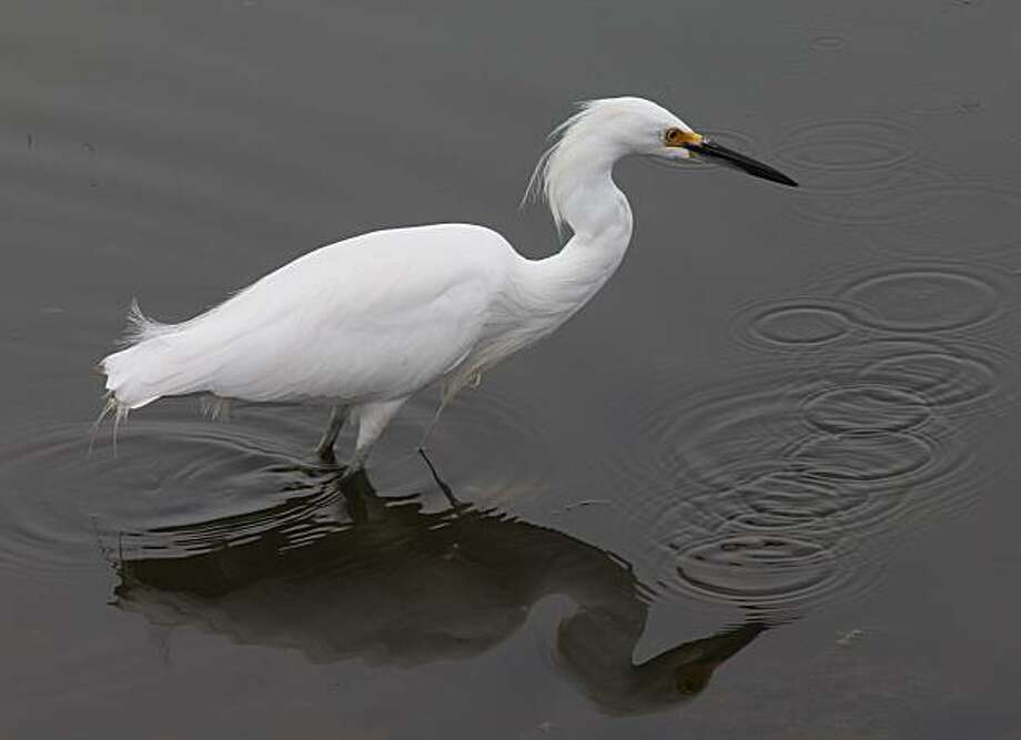 An egret at the New Chicago Marsh, which is part of the South Bay Salt Pond Restoration Project encompassing a 300-acre pond near Alviso, Ca., on Tuesday, February 16, 2010. Photo: Liz Hafalia, The Chronicle