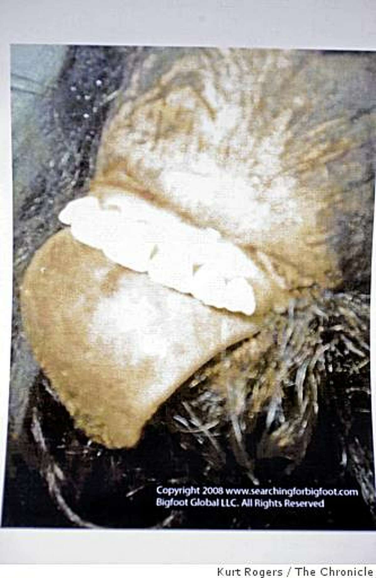 Copy Photo of Bigfoot's teeth and toung. on Friday , Aug 15 2008 in Palo Alto , Calif