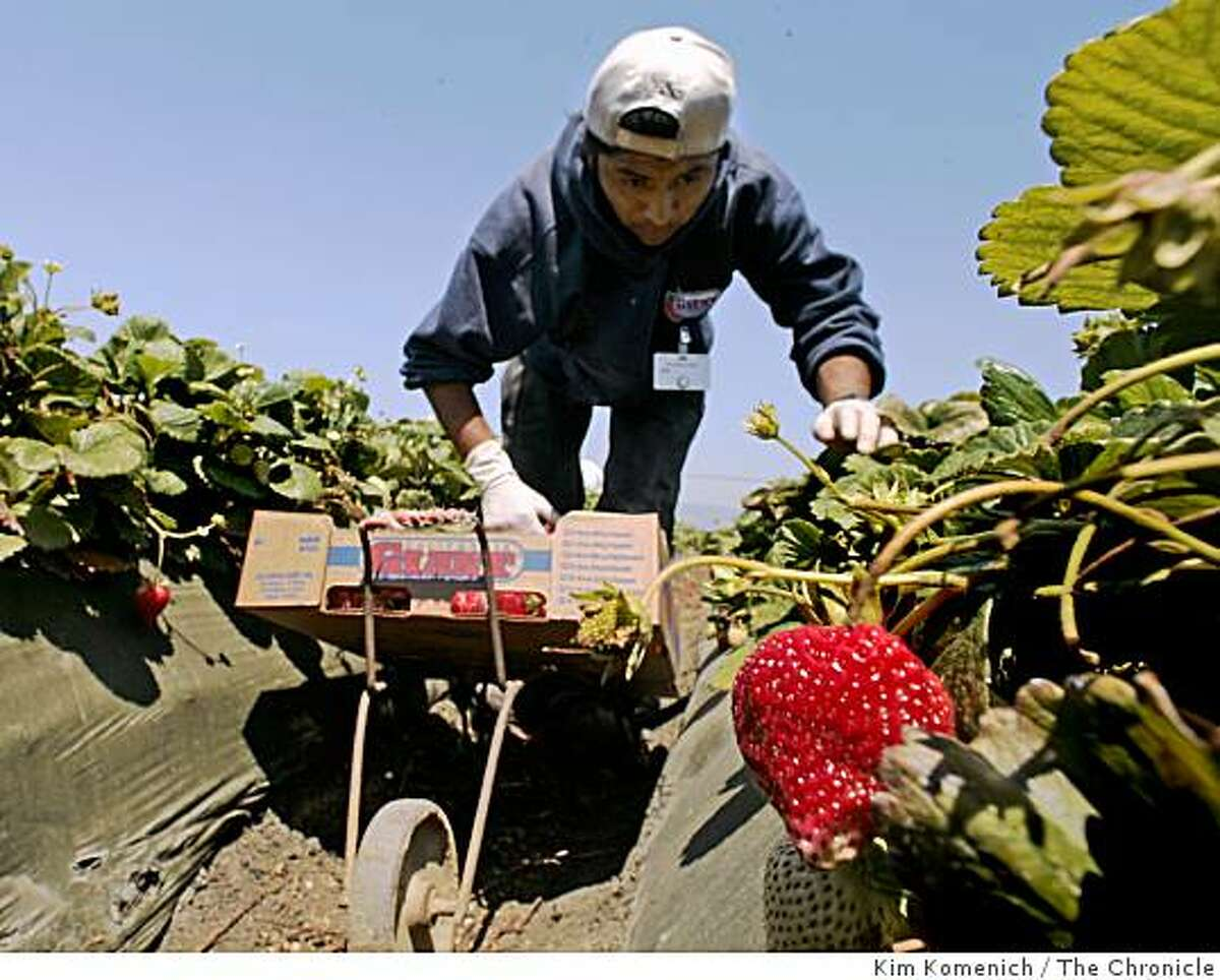 Ricardo Pacheco loads his cart as workers harvest strawberries in a field near Pajaro, Calif., on Wednesday, August 12, 2008