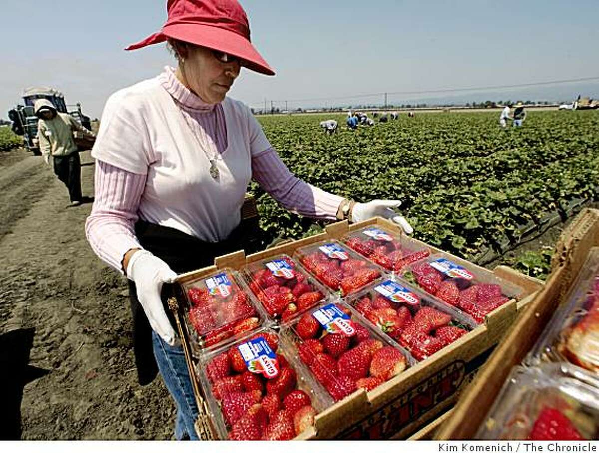 Supervisor Leonor Fernandez stacks boxes of strawberries as workers harvest in a field near Pajaro, Calif., on Wednesday, August 12, 2008.