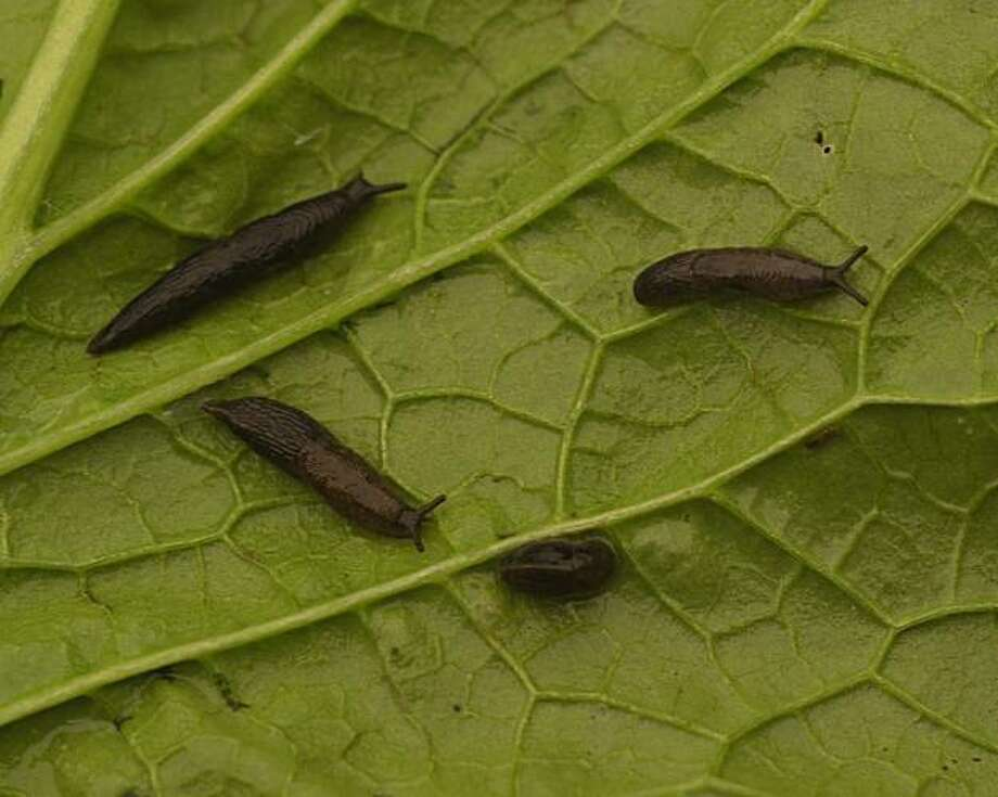 Tiny slugs hatch from eggs laid in spring or fall. They take a year to mature by munching their way through your garden plants. Photo: Pam Peirce