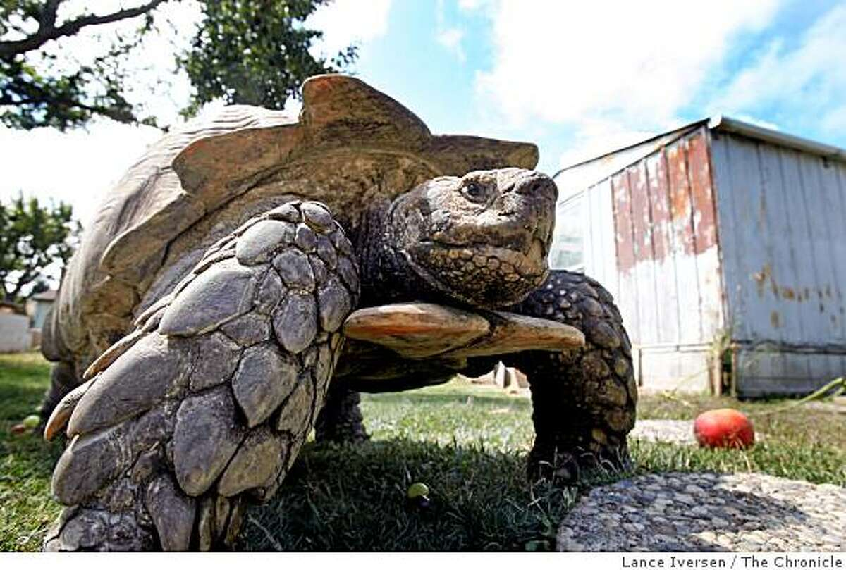 Broke is a 200 pound Sulcata tortoise born in Porterville, Calif., walks the grounds at the Bay Area Tuttle & Tortoise Rescue, in Castro Valley. His species is native to Central Africa,