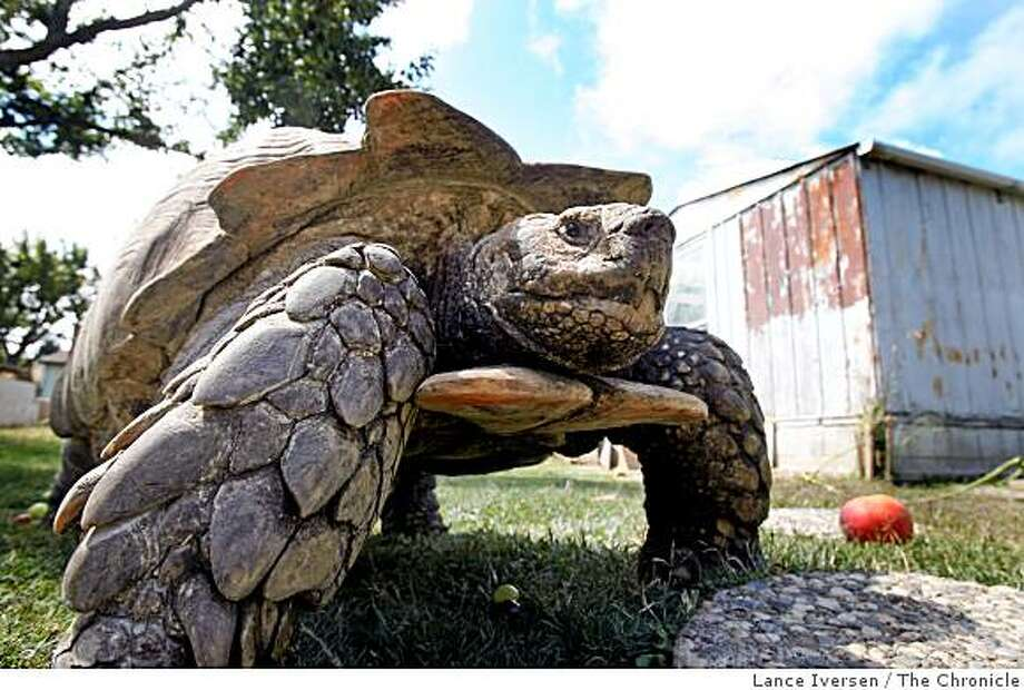 Broke is a 200 pound Sulcata tortoise born in Porterville, Calif., walks the grounds at the Bay Area Tuttle & Tortoise Rescue, in Castro Valley. His species is native to Central Africa, Photo: Lance Iversen, The Chronicle