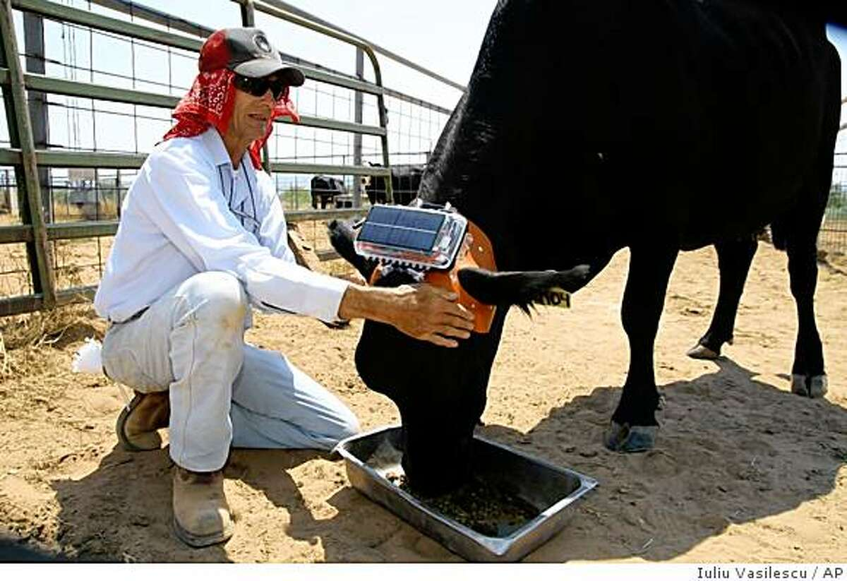 """This undated photo provided by Daniela Rus shows research technician Roy Libeau steadying a cow wearing an early prototype of the """"Ear-A-Round"""" device at the USDA's Jornada Experimental Range in Las Cruces, N.M. The device, created by researchers at the experimental range and the Massachusetts Institute of Technology, can funnel voice commands and sounds directly into a cow's ear to guide them while out on the range. The device is part of a project to remotely command cattle using satellite and computer science technology. (AP Photo/Massachusetts Institute of Technology, Iuliu Vasilescu) **NO SALES**"""
