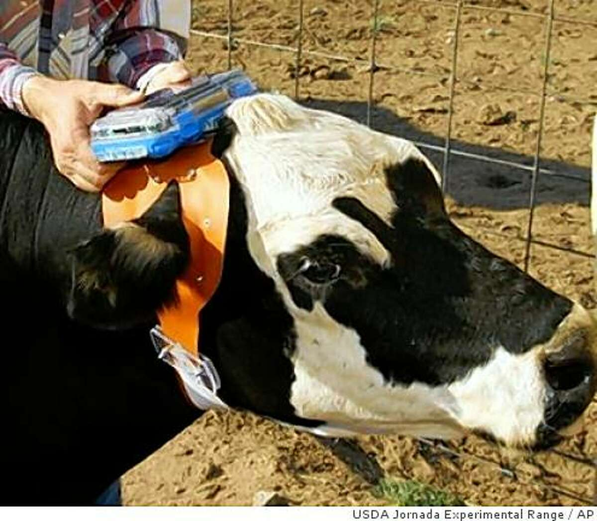 """This July 2007 photo provided by the USDA's Jornada Experimental Range shows a cow being outfitted with an early prototype of the """"Ear-A-Round"""" device at the Jornada Experimental Range in Las Cruces, N.M. The device, created by researchers at the experimental range and the Massachusetts Institute of Technology, can funnel voice commands and sounds directly into a cow's ear to guide them while out on the range. When equipped with speakers the device can project sounds into either the right or left ear to gather cows. The device is part of a project to remotely command cattle using satellite and computer science technology. (AP Photo/USDA Jornada Experimental Range)"""