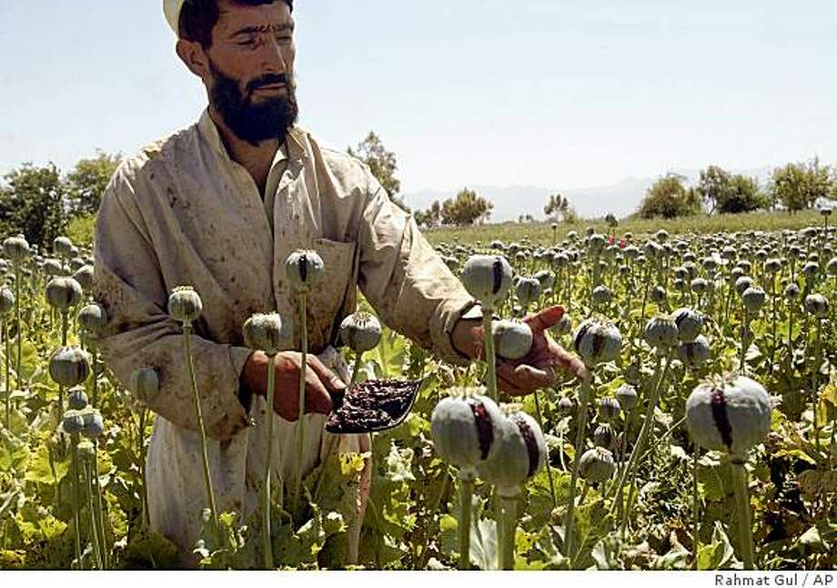 ** FILE ** An Afghan farmer collects resin from poppies on a opium poppy field in Bati Kot district of Nangarhar province, east of Kabul, Afghanistan, on Tuesday, April 24, 2007. U.N. figures to be released in September 2007 are expected to show a 15 percent rise in Afghanistan's poppy production over 2006, accounting for 95 percent of the world's crop and up 3 percent from last year, officials familiar with preliminary statistics told The Associated Press. (AP Photo/Rahmat Gul/file) Ran on: 08-05-2007 An Afghan farmer collects resin from pods in an opium poppy field east of Kabul, Afghanistan, last spring. Photo: Rahmat Gul, AP