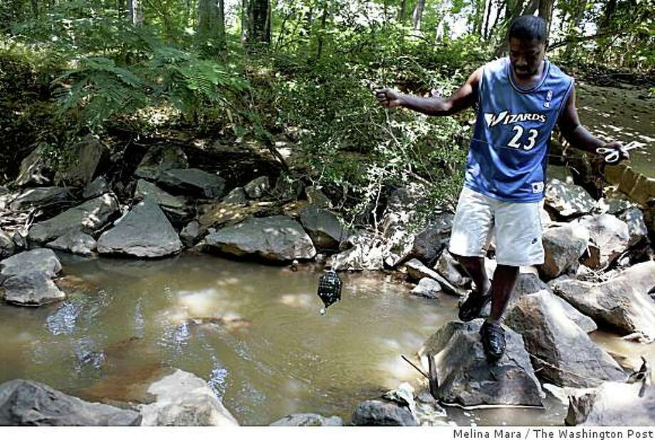 Research assistant Earl Greenidge places a water-permeable container loaded with 50 clams in Maryland's Lower Still Creek to test for contamination. The creek feeds into D.C.'s Anacostia River. Illustrates CLAMS (category a), by David A. Fahrenthold, (c) 2008, The Washington Post. Moved Monday, Aug. 4, 2008. (MUST CREDIT: Washington Post photo by Melina Mara.) Photo: Melina Mara, The Washington Post
