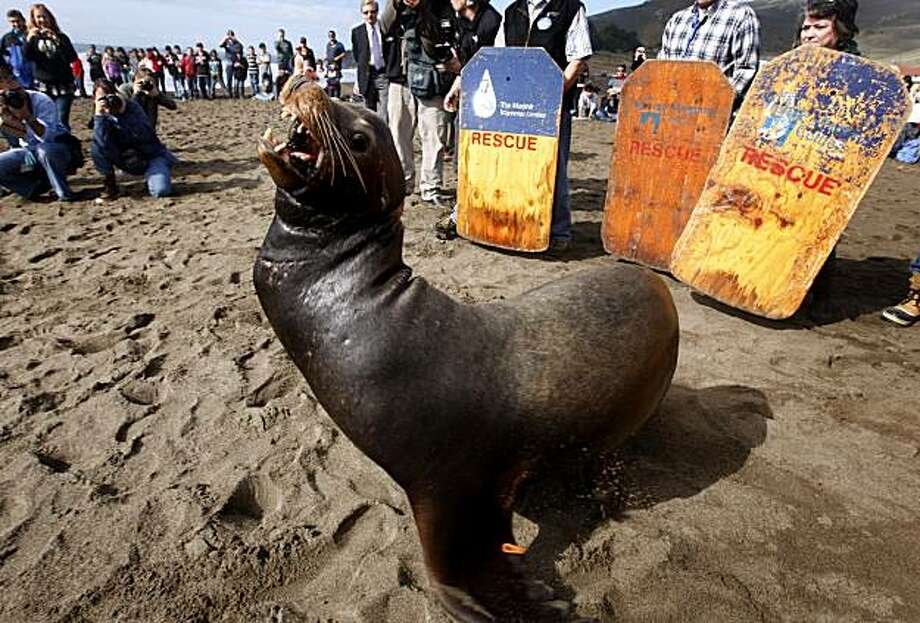 A crowd gathers to watch Abagnale, the sea lion found entangled in fishing line last month, return to the Pacific Ocean at Rodeo Beach in the Marin Headlands on Friday. Abagnale became a celebrity when he repeatedly eluded attempts to rescue him after he was first spotted at Pier 39. He was captured in Moss Landing 24 days later and nursed back to health at the Marine Mammal Center. Photo: Paul Chinn, The Chronicle