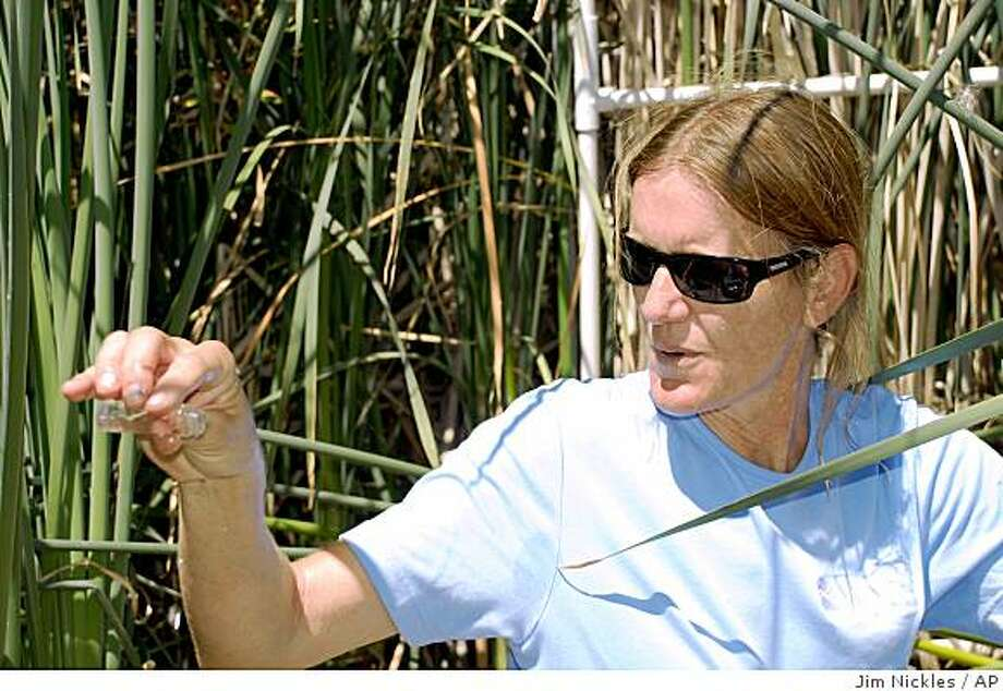 In this photo provided by the U.S. Geological Survey, biochemist Robin Miller conducts water quality tests at Twitchell Island, Wednesday, July 30, 2008, near Rio Vista Calif.  Scientists say the cattail and tule plot removes two to three times as much carbon dioxide as other natural green spaces.  (AP Photo/USGS, Jim Nickles) Photo: Jim Nickles, AP